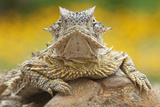 Texas Horned Lizard (Phrynosoma Cornutum) Portrait  Laredo Borderlands  Texas  USA April