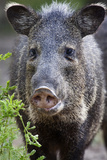 Collared Peccary (Pecari Tajacu) Laredo Borderlands  Texas  USA April