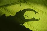 Stag Beetle (Lucanus Cervus) Silhouetted Against Oak Tree Leaf Elbe  Germany  June