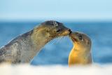 Galapagos Sea Lion (Zalophus Wollebaeki) Mother and Young Touching Noses, Galapagos Islands, May Papier Photo par Ben Hall