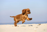 Cavalier King Charles Spaniel  Puppy  14 Weeks  Ruby  Running on Beach  Jumping
