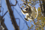 Golden-Crowned Sifaka (Propithecus Tattersalli) Leaping Through Forest Canopy