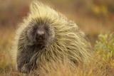 Porcupine (Erethizon Dorsatum) on Tundra North Slope  Alaska  USA September