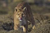 Puma (Puma Concolor) in High Altitude Habitat  Torres Del Paine National Park  Chile