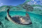 Split Level Image of a Southern Stingray (Dasyatis Americana) Swimming over a Sand Bar Papier Photo par Alex Mustard