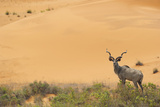 Greater Kudu (Tragelaphus Strepsiceros) Male by Sand Dunes