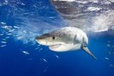 Great White Shark (Carcharodon Carcharias) Guadalupe Island, Mexico, Pacific Ocean. Vulnerable Papier Photo par Franco Banfi