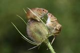 Harvest Mice (Micromys Minutus) on Teasel Seed Head Dorset  UK  August Captive