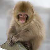 Japanese Macaque (Macaca Fuscata) Juvenile Portrait  Jigokudani  Japan February