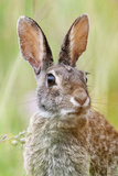 Eastern Cottontail (Sylvilagus Floridanus) Portrait  Laredo Borderlands  Texas  USA April