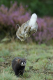 European Polecat (Mustela Putorius) Hunting Rabbit Which Is Jumping to Get Away