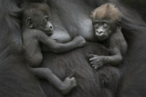 Western Lowland Gorilla (Gorilla Gorilla Gorilla) Twin Babies Age 45 Days Resting on Mother's Chest