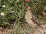 Male Common Quail (Coturnix Coturnix) Calling  Spain  May