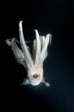 Humboldt Squid (Dosidicus Gigas) at Night Off Loreto Papier Photo par Franco Banfi