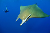 Scuba Diver with Devilray (Mobula Tarapacana) Papier Photo par Franco Banfi