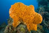 Orange Elephant Ear Sponge (Agelas Clathrodes) Santa Lucia Papier Photo par Franco Banfi
