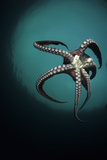 Pacific Octopus (Octopus Dofleini) Vancouver Island  British Columbia  Canada  Pacific Ocean