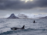 Orcas (Orcinus Orca) Pair in Sea Surrounded by Mountains, Iceland, January Papier Photo par Ben Hall