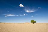 Elm Tree (Ulmus) in Gobi Desert  South Mongolia