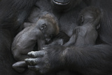 Western Lowland Gorilla (Gorilla Gorilla Gorilla) Twin Babies Age 45 Days Sleeping in Mother's Arms