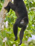 Guatemalan Black Howler Monkey (Alouatta Pigra) Climbing