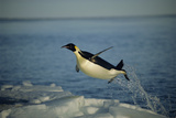Emperor Penguin Flying Out of Water (Aptenodytes Forsteri) Cape Washington  Antarctica
