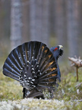 Male Capercaillie (Tetrao Urogallus) Displaying  Jalasjarvi  Finland  April
