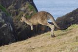 Eastern Grey Kangaroo (Macropus Giganteus) Jumping  Queensland  Australia