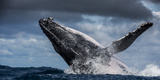 Humpback Whale (Megaptera Novaeangliae) Breaching During Annual Sardine Run