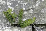 Rustyback Fern (Ceterach Officinarum)  Growing in Wall  Near Hartland  North Devon  UK December