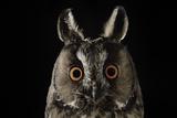 Long Eared Owl (Asio Otus) at Night  Perched on Oak Tree Snag