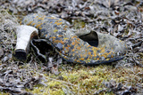 Old High Heeled Shoe Covered in Lichen  Wrangel Island  Far Eastern Russia September 2010
