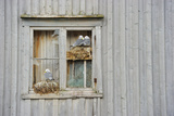 Kittiwake Gulls (Rissa Tridactyla) on an Abandoned House  Batsfjord Village Harbour  Norway