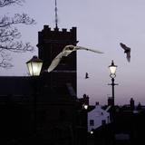 Common Pipistrelles (Pipistrellus Pipistrellus) Flying Round Church Tower UK Digital Composite