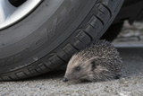 Hedgehog (Erinaceus Europaeus  at Risk by Car Wheel  Controlled Conditions  Captive  England  March