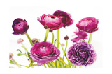 Spring Ranunculus III Reproduction d'art par Laura Marshall