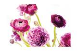 Spring Ranunculus IV Reproduction d'art par Laura Marshall