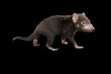A Five Month Old  Endangered Tasmanian Devil Joey  Sarcophilus Harrisii