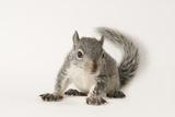 A Young Western Gray Squirrel  Sciurus Griseus