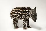An Endangered Six-Day-Old Malayan Tapir  Tapirus Indicus