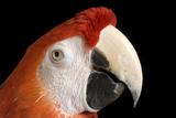 A Scarlet Macaw  Ara Macao