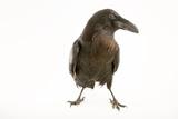 A Common Raven  Corvus Corax Principalis