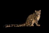 An Endangered Snow Leopard  Uncia Uncia
