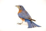 An Eastern Bluebird  Sialia Sialis