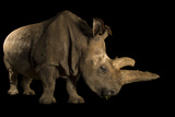 A Critically Endangered Female Northern White Rhinoceros  Ceratotherium Simum Cottoni