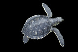 Portrait of a Baby Green Sea Turtle  Chelonia Mydas