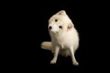 An Arctic Fox  Vulpes Lagopus