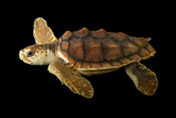 An Endangered Juvenile Loggerhead Sea Turtle  Caretta Caretta