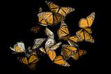 Monarch Butterflies  Danaus Plexippus  in the Sierra Chincua Mountains