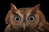A Red Phased Eastern Screech Owl  Megascops Asio